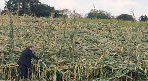 Jogi Blunk begutachtet Sturmschäden im Maisfeld eines Kunden - Detailausschnitt