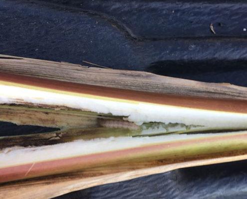 So erkennen Sie den Maiszünsler-Schädling - Blunk-Foto 1