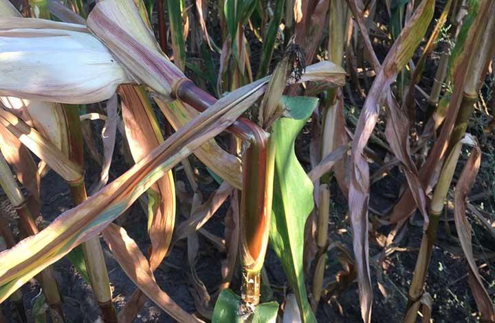 So erkennen Sie den Maiszünsler-Schädling - Blunk-Foto 2
