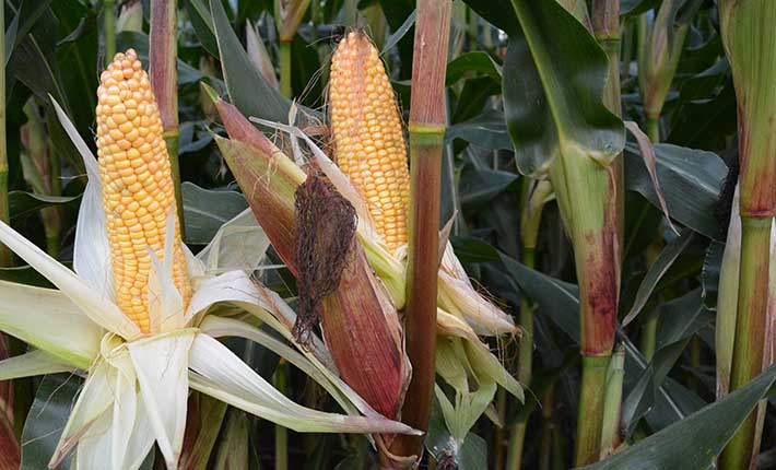 Mais auf einem Blunk-Feld vor der Ernte 2017