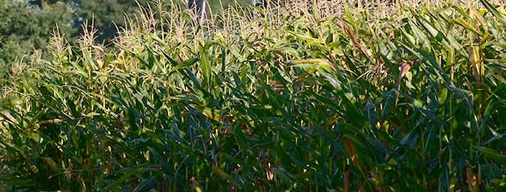Mais sicher verkaufen mit Blunk