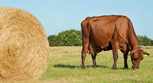 Kuh mit Strohballen auf Feld