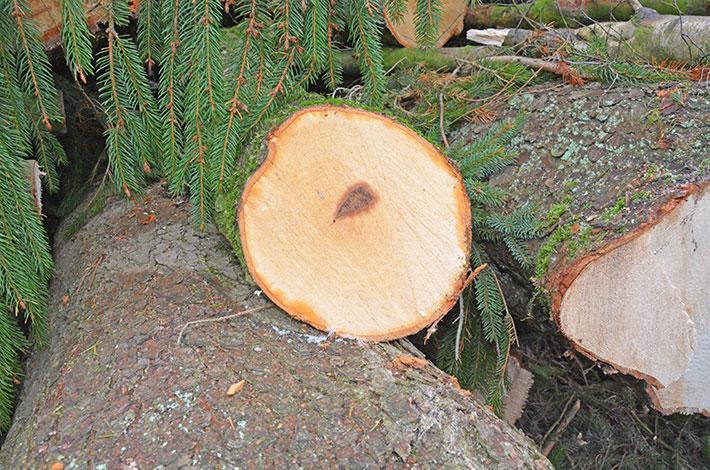 Blunk Baumfällungen Rotfäule beginnend
