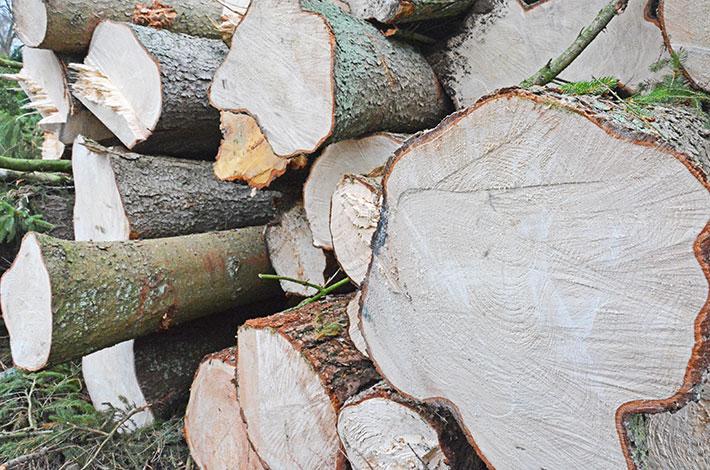 Blunk gefällte Bäume