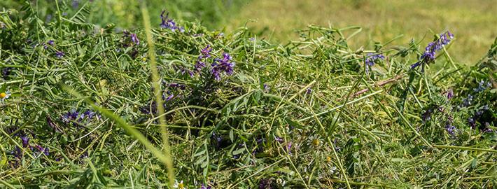 Blunk über Wick-Roggen bzw. Wicke-Roggen-Gemisch als Bodenverbesserer und Futtermittel 03