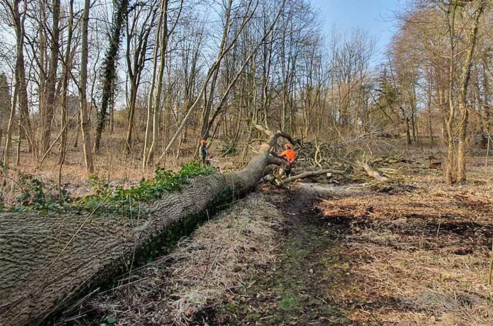 Blunk Umwelt-Team bei Baumfällung zur Gefahrenbeseitigung 01
