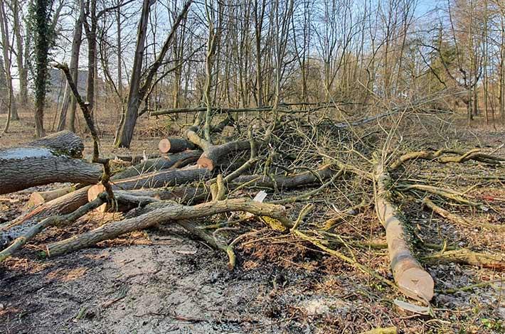 Blunk Umwelt-Team bei Baumfällung zur Gefahrenbeseitigung 02