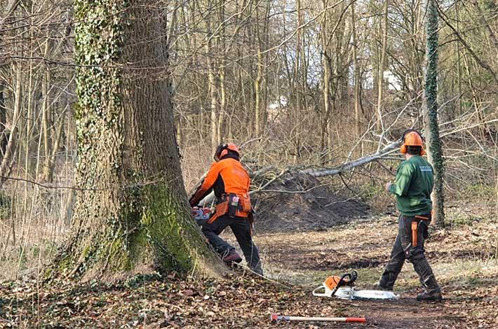 Blunk Umwelt-Team bei Baumfällung zur Gefahrenbeseitigung 05